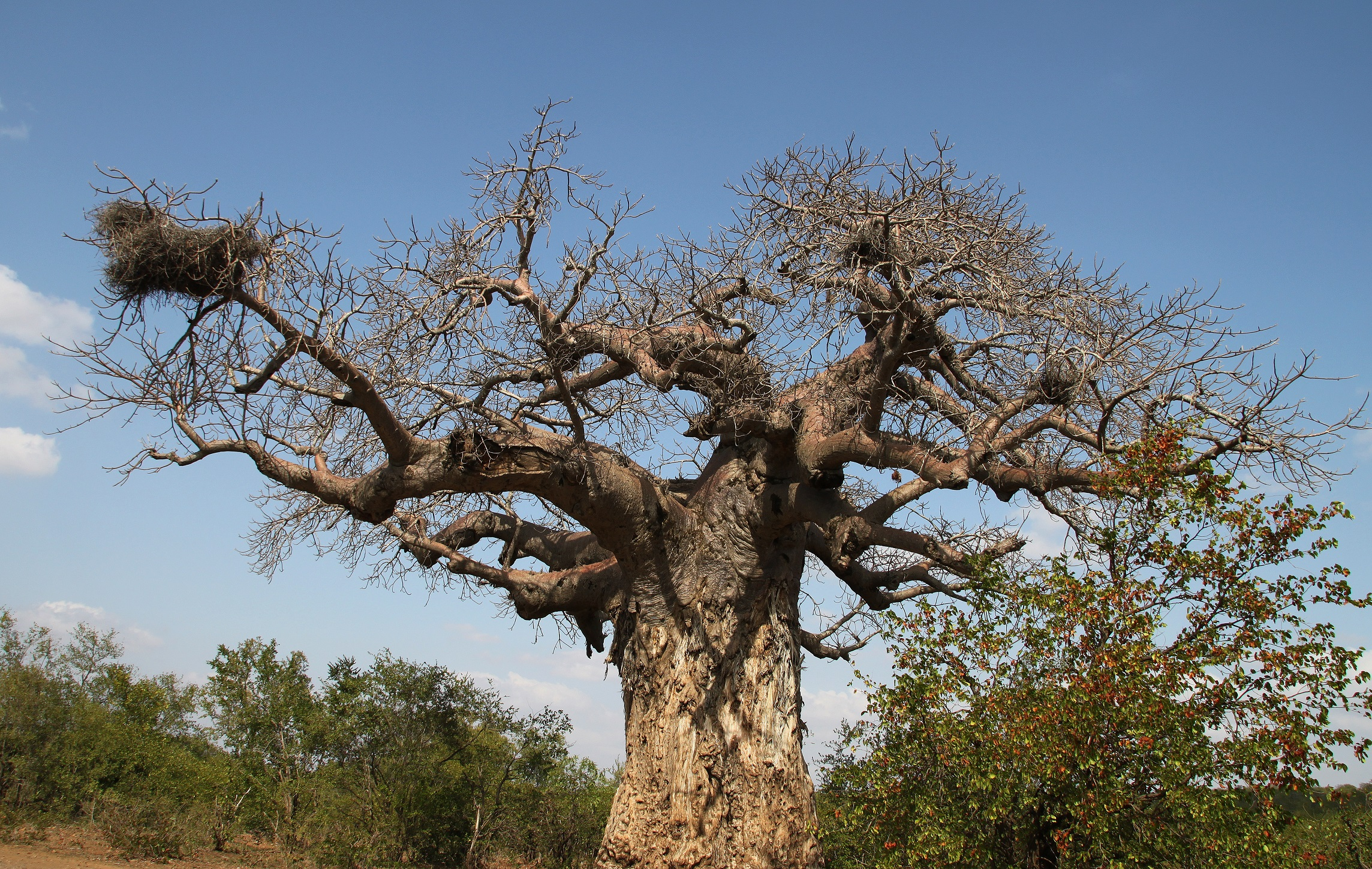 baobab, limpopo, south africa