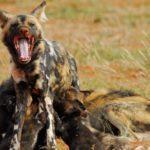 Tswalu Wild Dog