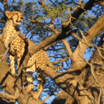 Tswalu South Africa Leopard in Tree